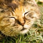 猫派はアメリカンカール、エキゾチックショートヘアどっちがお好き?