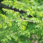 ワサビノキ(モリンガ)は奇跡の木